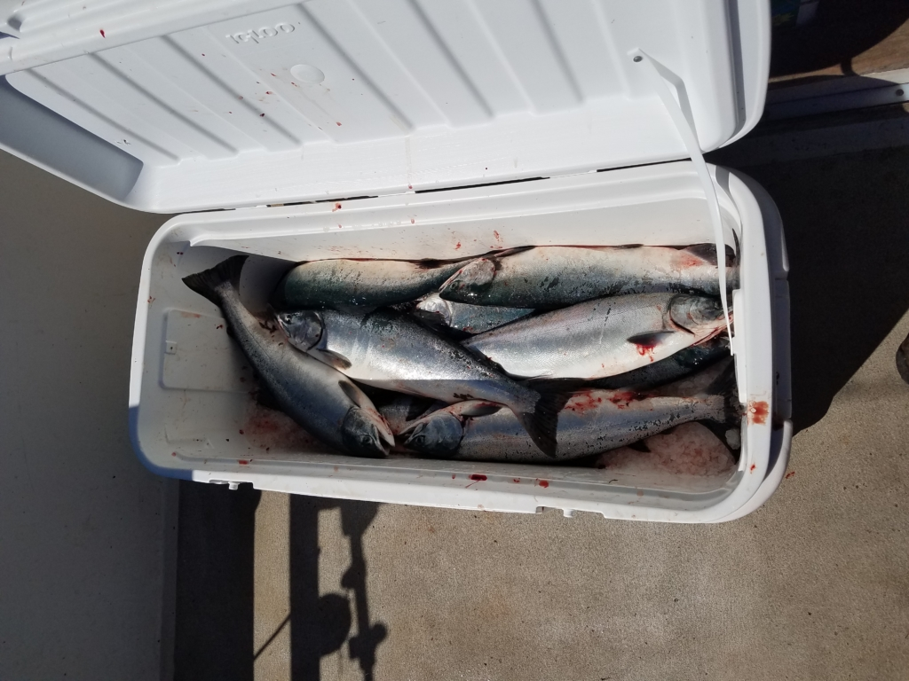 ice chest with fresh fish salmon
