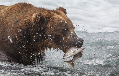 Grizzly-bear-in-Alaska-Katmai-National-Park-hunts-salmons