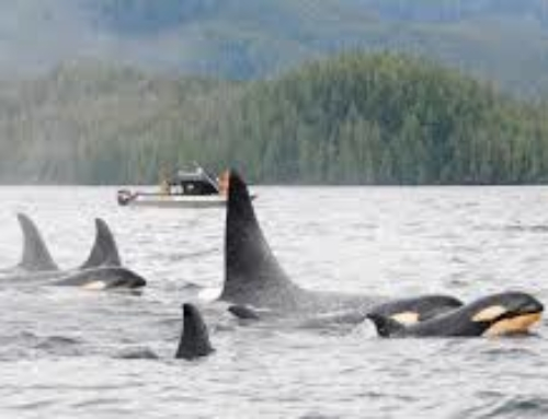 Orca Pods and Super Pods