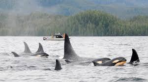inside passage super pod of killer whales